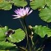Single purple lilly