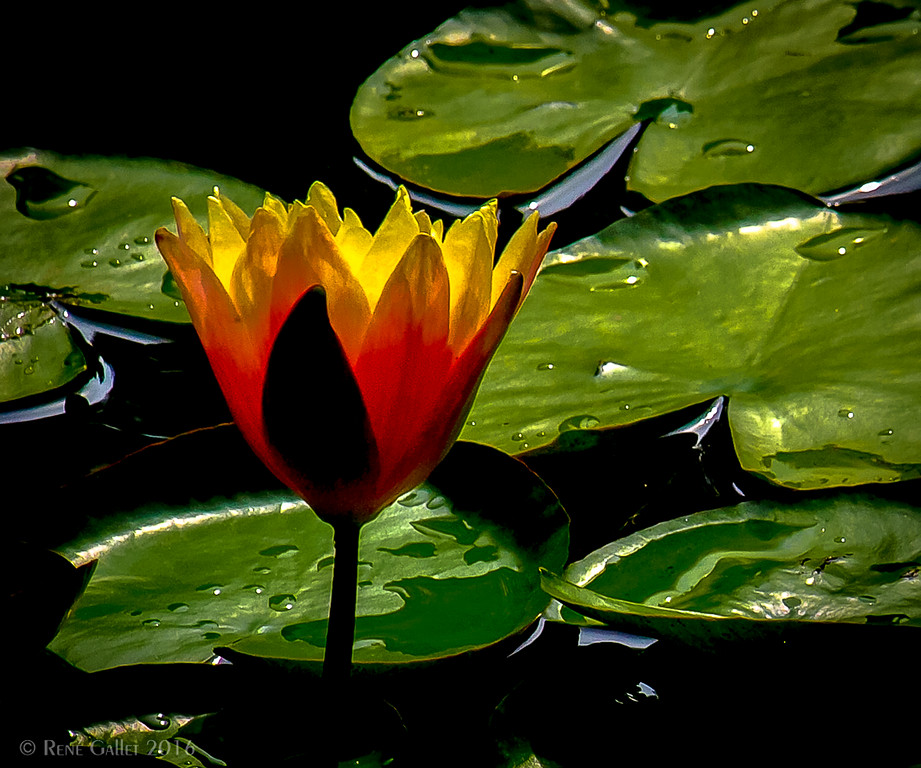 Lily at First LIght