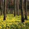 Sunny daffodil forest
