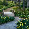 Daffodil garden pathway