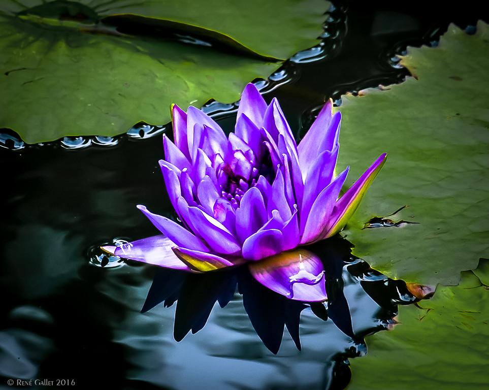 Purple Lily - 09