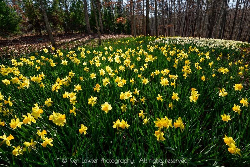 Daffodil forest I