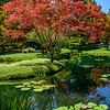 Lilly pond & maple