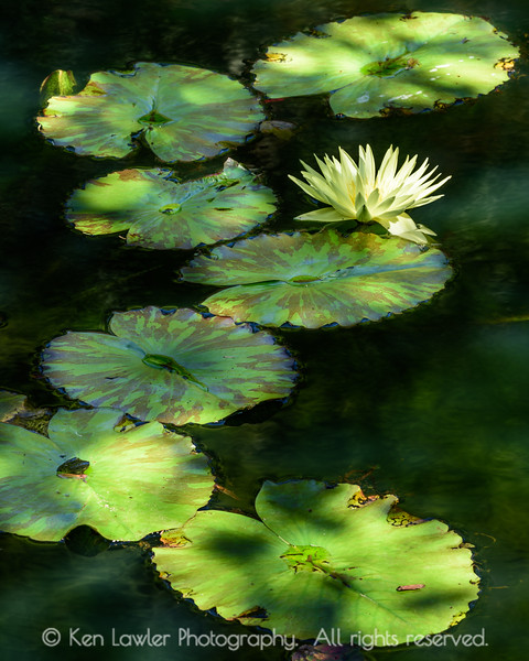 Water lilly path