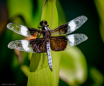 Dragon Fly #2