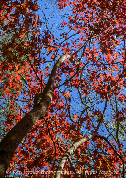 Japanese Maple Canopy
