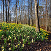 Daffodil forest floor