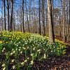 Daffodil forest floor