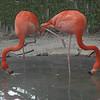 Flamingos-try yoga