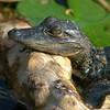 baby gator-log on