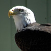 weeping eagle