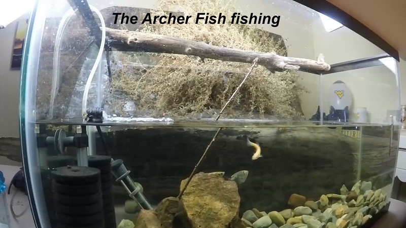Archer fish fishing