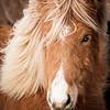 Blue Eyed Icelandic Horse