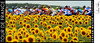 The 2010 Tour de France amidst sunflowers on stage six