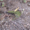 Video of Gila Monster at Sebrina Canyon, Az,   Following him around the   desert.