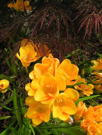 Yellow fresias Kurau Park Rotorua