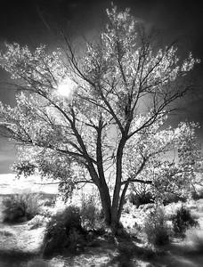 Abiquiu Tree