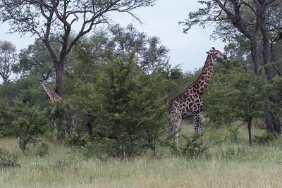 Giraffe - Giraf