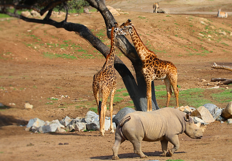 IMG_6366 Rhino and Giraffes Safari Park 3.11.2018 Selective Focus.jpg