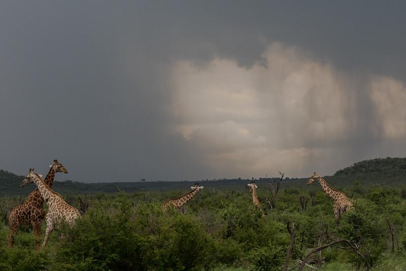 Giraffe with Strom clouds
