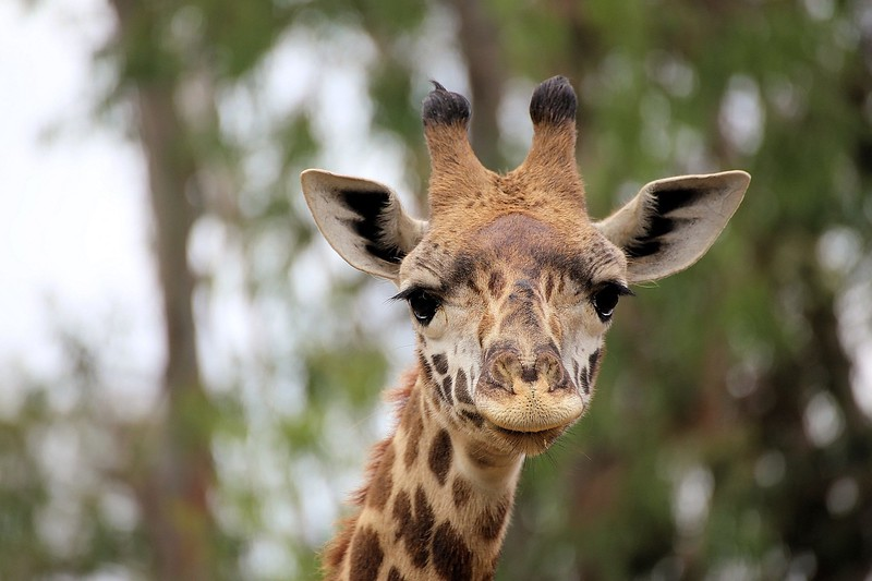 Giraffe Face 2015.jpg
