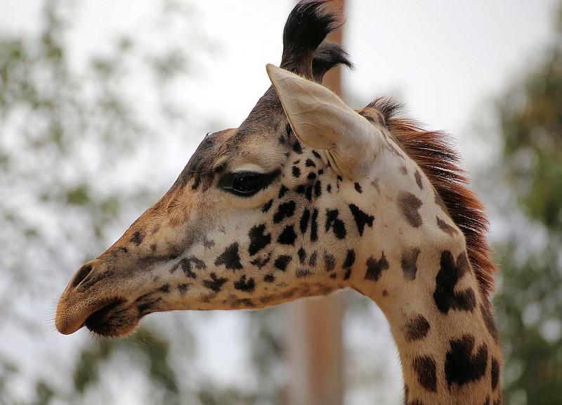 Giraffe July 11, 2015.jpg