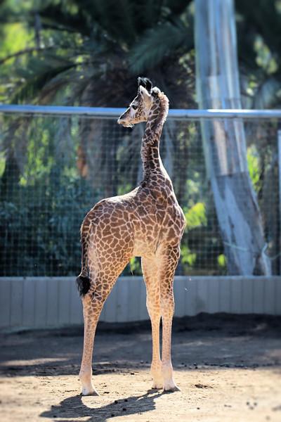 IMG_3408 Giraffe 600MM 1.04.2018.jpg