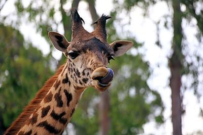 Tamron 70-300MM_Giraffe Nose Acrobat