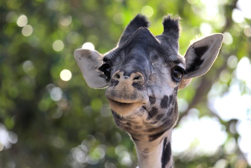 Nicki Giraffe 12.28.2016.jpg