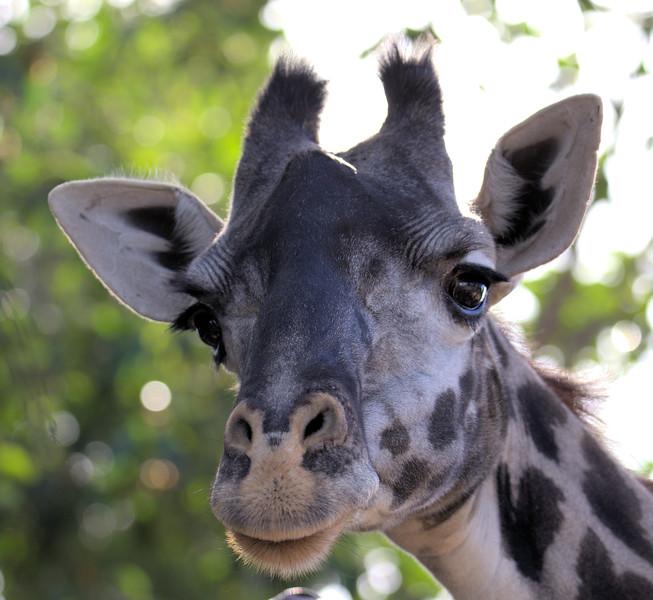 Nicki Giraffe 12.28.2016 _2 Pretty.jpg