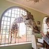 Feeding time at Giraffe Manor