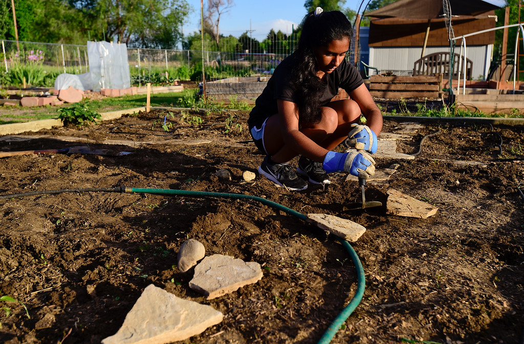 . Girl Scout Gayathri Budamgunta places flagstones in a garden plot at the 11th Avenue Gardens in Longmont, Colorado on May 23, 2018. The girl scout troop plans to donate the vegetables from the garden to the OUR Center.  (Photo by Matthew Jonas/Staff Photographer)
