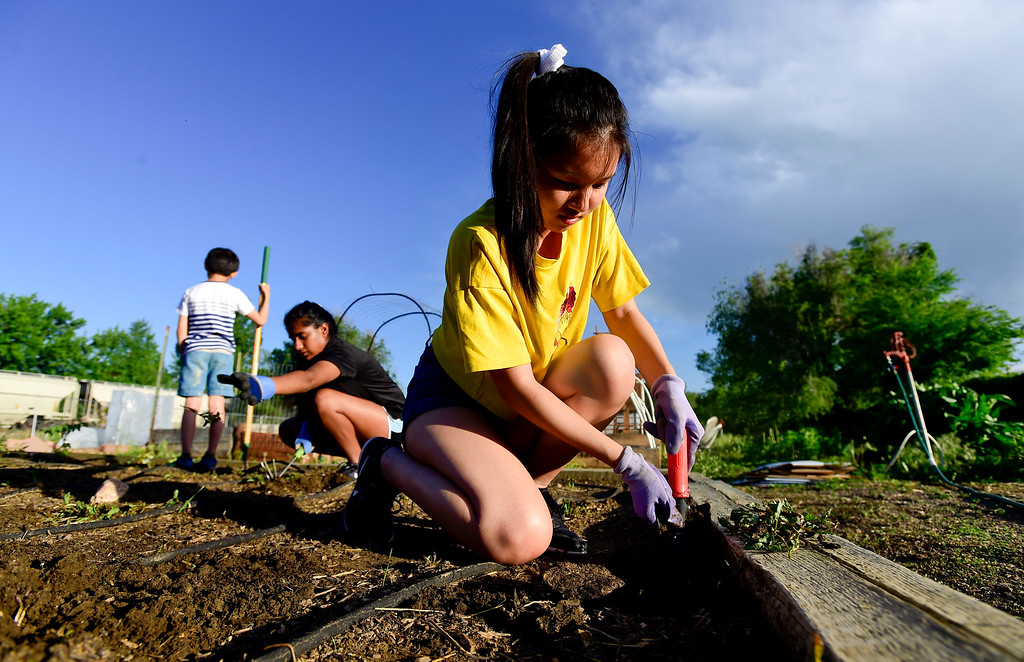. Girl Scouts Bebe Lin, right, and Gayathri Budamgunta, center, pull weeds in a garden plot as Ryan Lin, left, stands by at the 11th Avenue Gardens in Longmont, Colorado on May 23, 2018. The girl scout troop plans to donate the vegetables from the garden to the OUR Center.  (Photo by Matthew Jonas/Staff Photographer)