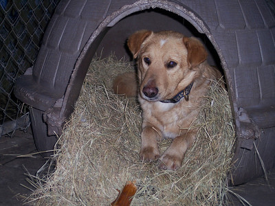 Timothy, snuggled in his bed at 1430. We had to make soft, warm beds out of straw for the dogs because their kennels were all outside.