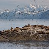 Sea Lions and Sea Gulls