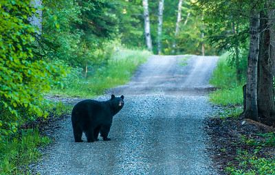 Black Bear, Whitefish MT