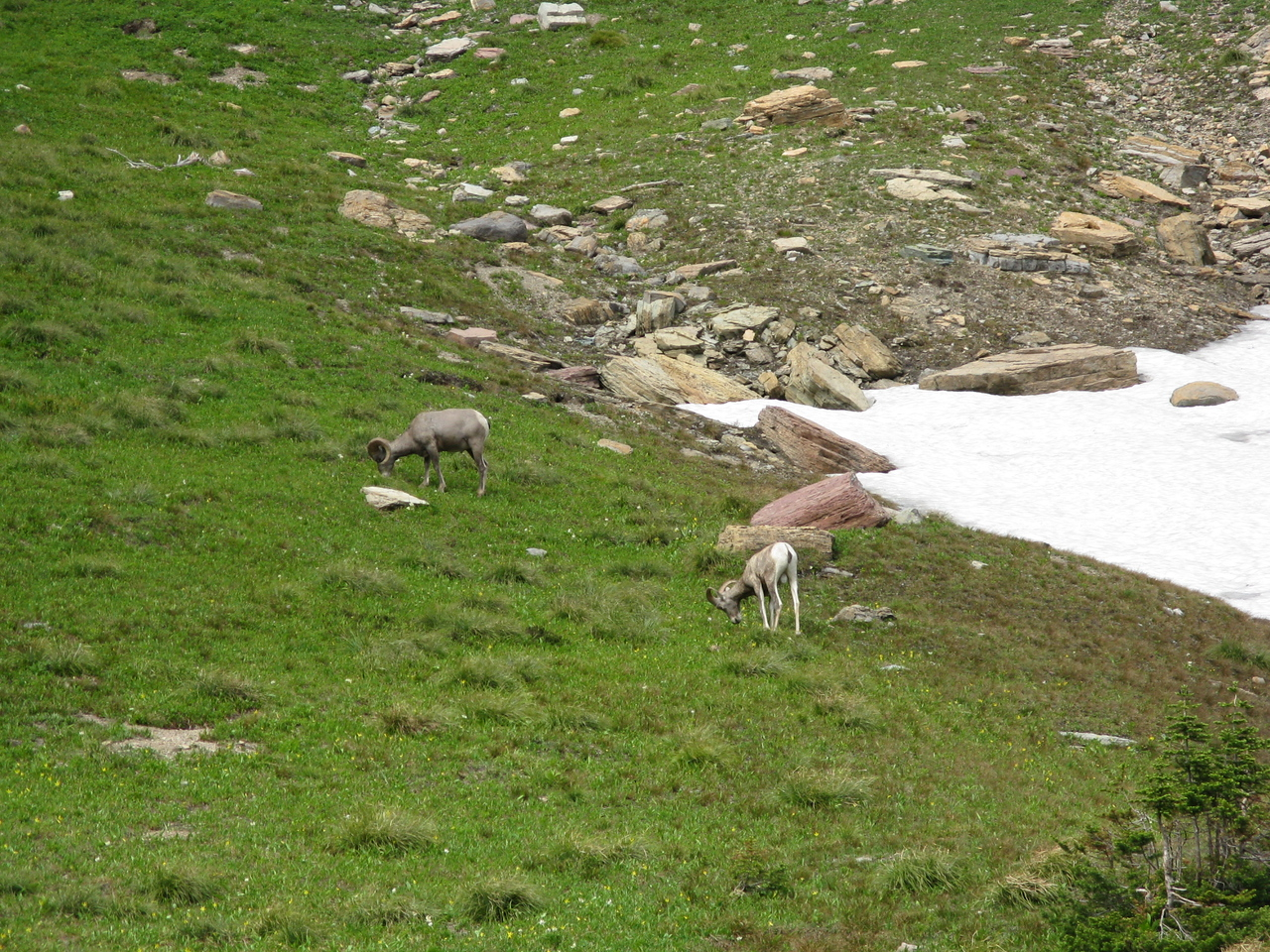 Just east of Logan Pass, we found Bighorn Sheep grazing in the meadow.