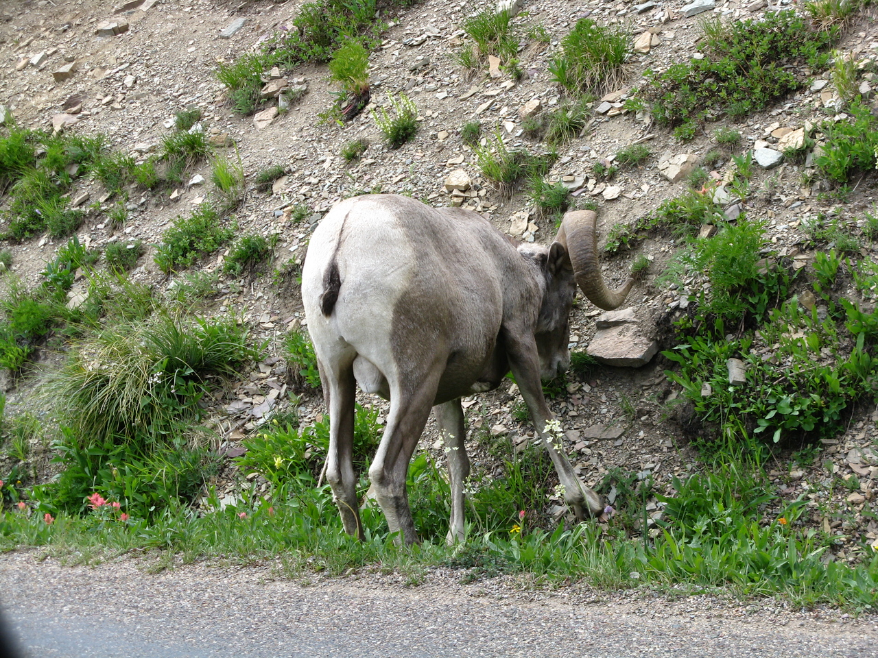 The ram is not cooperative and provides a very disappointing pose before we had to move down the road.