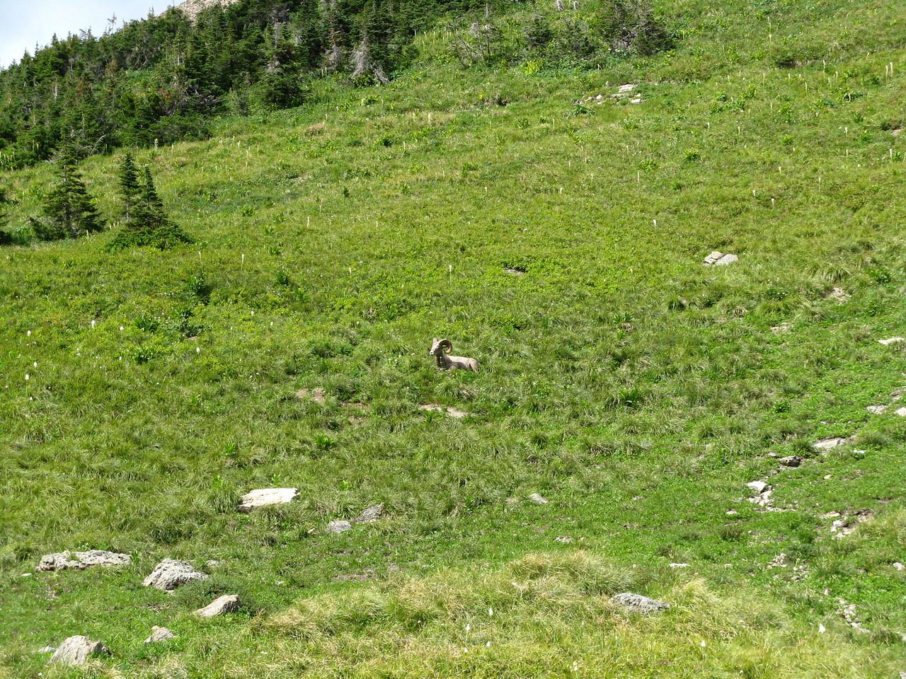 A ram lying in the meadow.