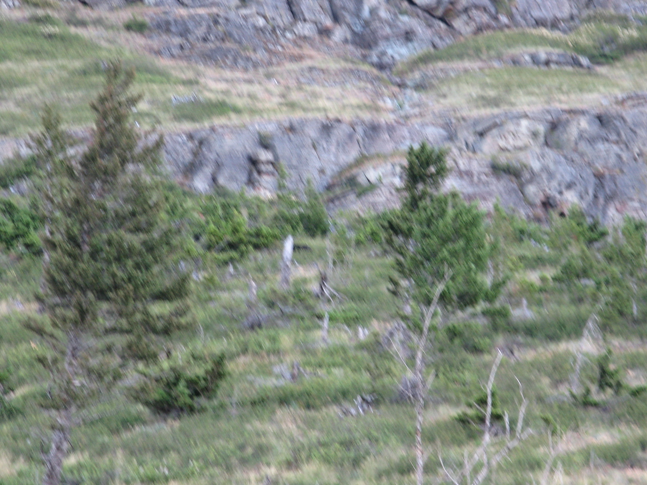 There is a black bear to the right of a standing grey tree stump near the center of the picture.  You can't tell that it is a bear in this image.  Due to low light, the picture is poor.