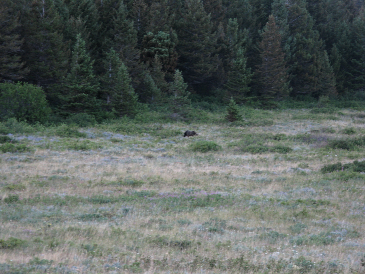 "A ranger came along and confirmed that this was a grizzly.  You can see the ""hump"" at the shoulders, which distinquishes grizzlies from black bears.  We headed back to the motel after a great day."