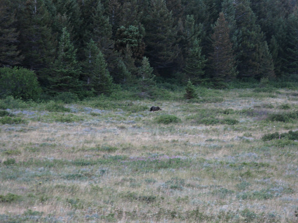 Grizzly Bear and Lake Saint Mary, Aug 4, 2008