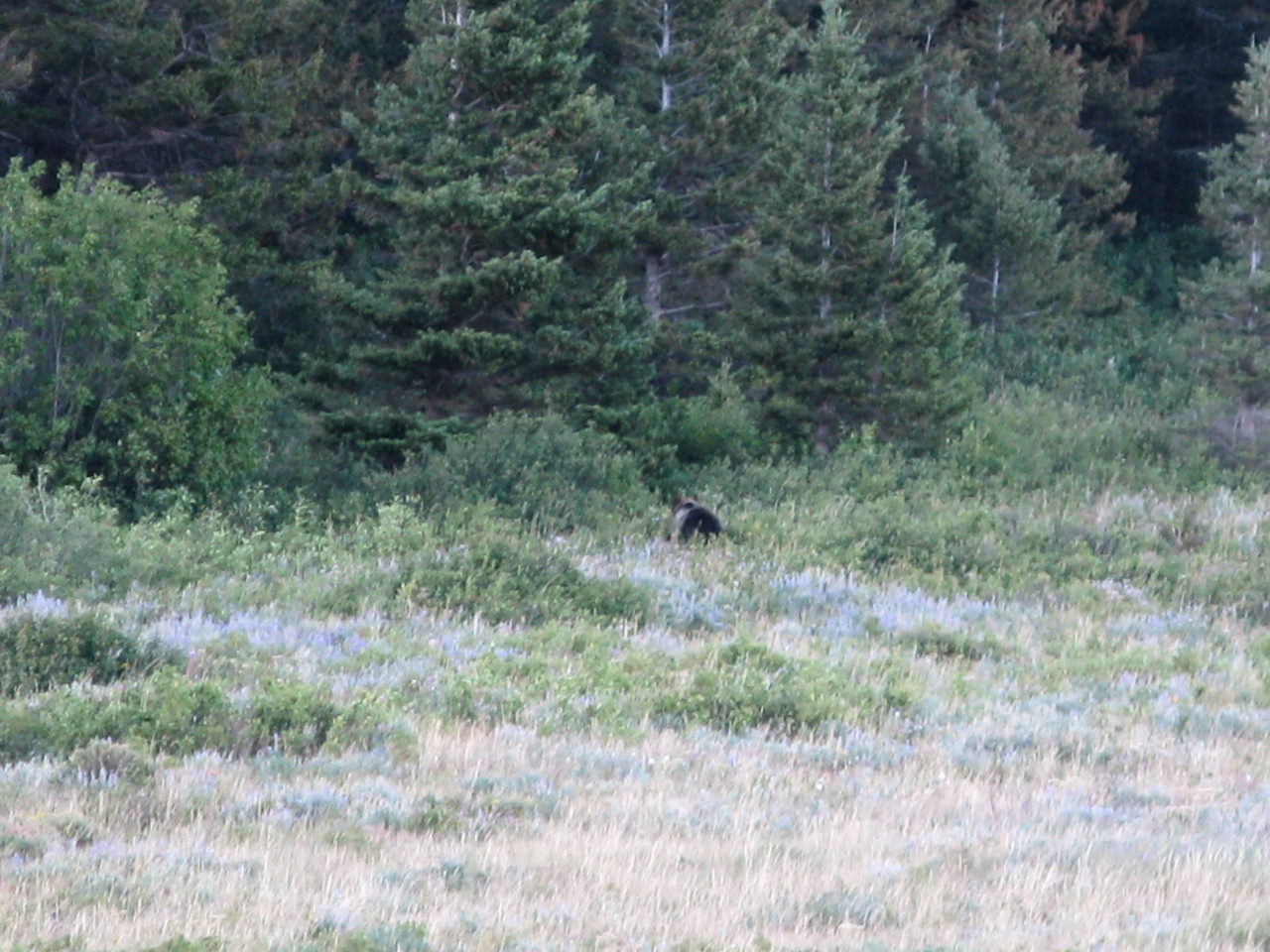 Farther back down the road, we came upon this grizzly bear in the meadow.  It is probably the same one we had seen in the morning on the way to the Highline Trail.