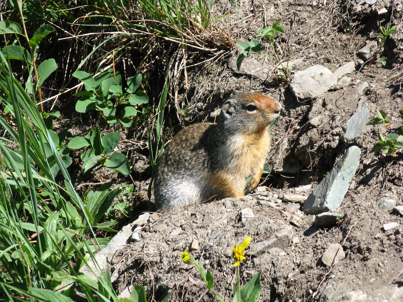 Another view of the ground squirrel.