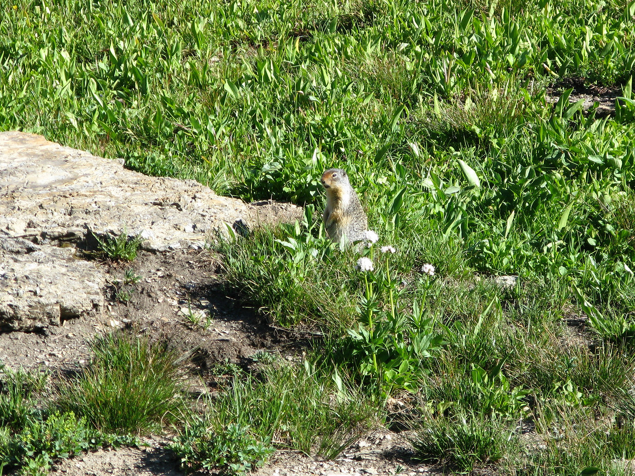 There were lots of ground squirrels, like this one, but very few chipmunks.