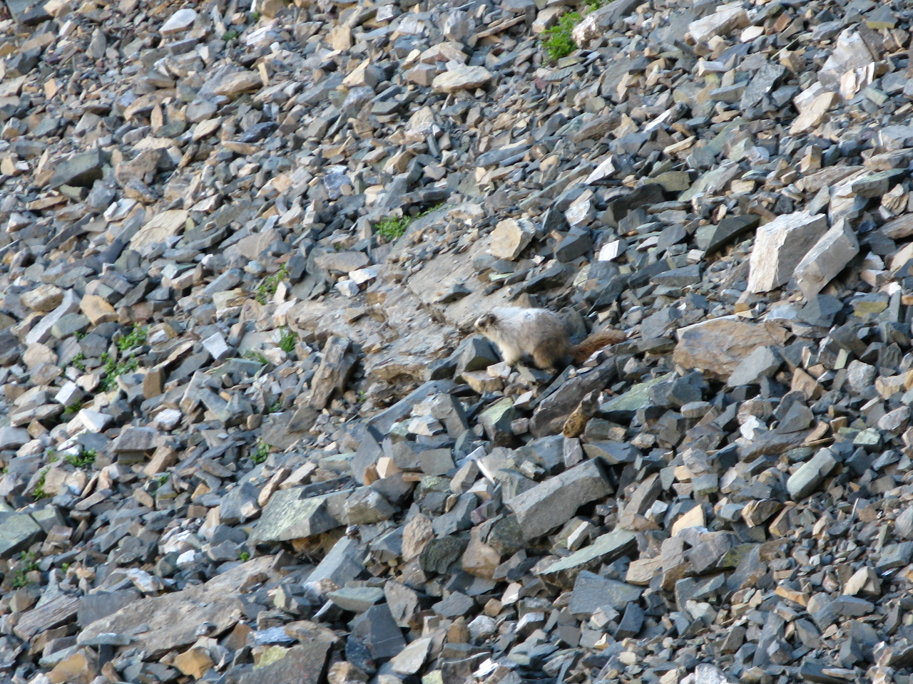 The color of the marmot's coat disquises him pretty well in these rocks.  The marmot is just right of the center of the picture.