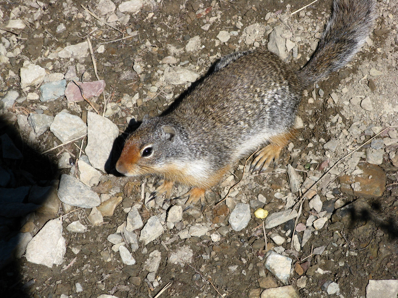 A ground squirrel on the trail.