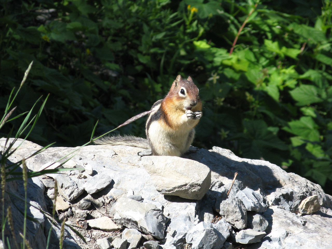 This little fellow has stripes on his back and I think that makes him a chipmunk, although he was pretty big.