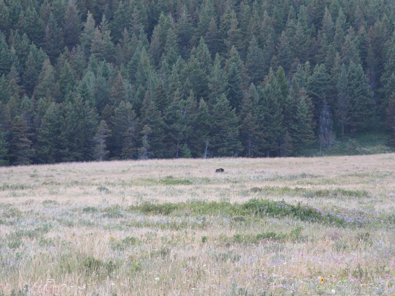 We learned that our favorite grizzly tends to hang out in this meadow every morning and evening.  (What the rangers won't tell you!) It was the same place we had seen him on the previous day.
