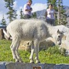 033 Mountain Goat Kid_8672